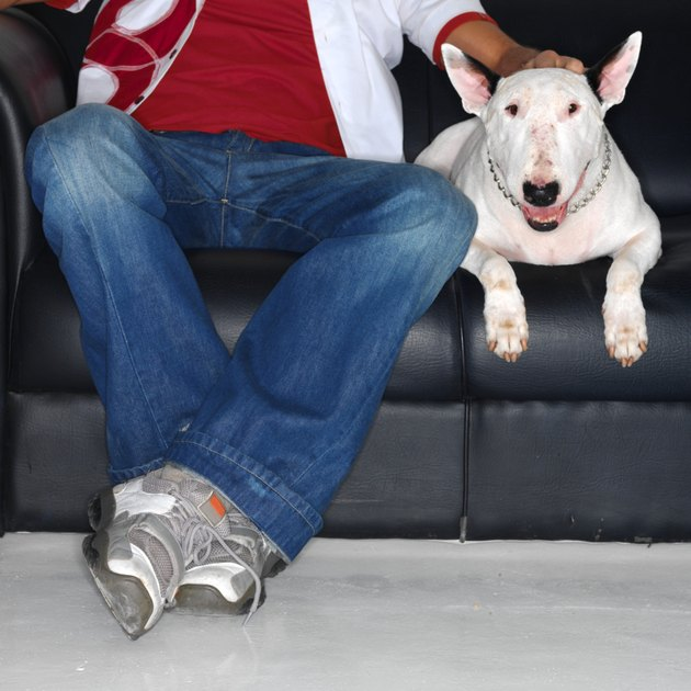 low section view of a man sitting on a couch with his pit bull dog