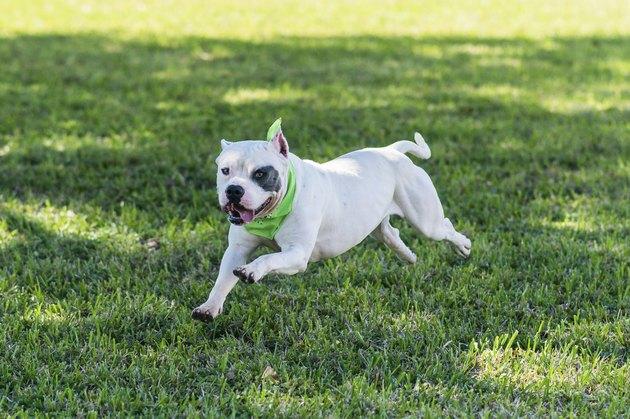 White Pitbull Terrier running in the grass