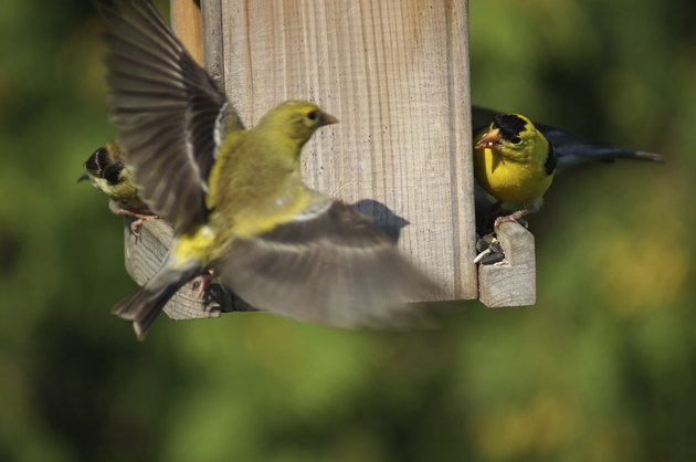 Fighting birds American Goldfinch on bird feeder