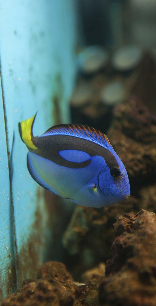 Blue Tang ( Surgeonfish )