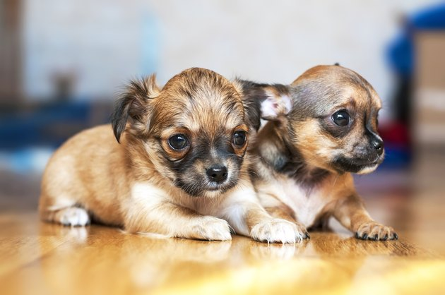 small Chihuahua puppies on floor