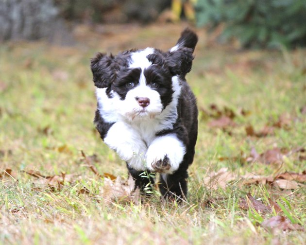 Running Portuguese Water Dog Puppy