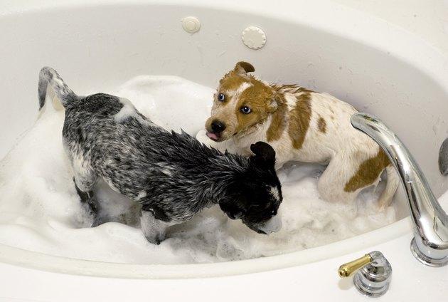 Puppies taking a bath.