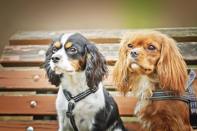 Cavalier king charles spaniel dogs
