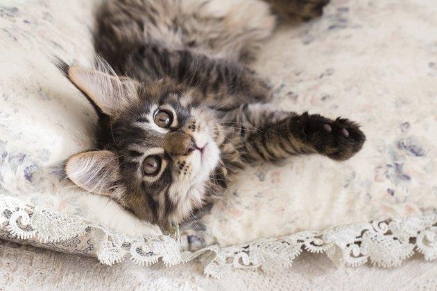 Maine coon kitten between pillows