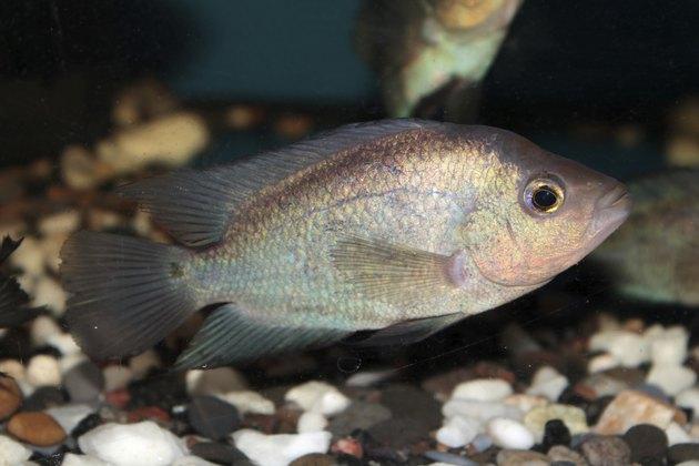 Thai Silk Flowerhorn Cichlid aquarium fish