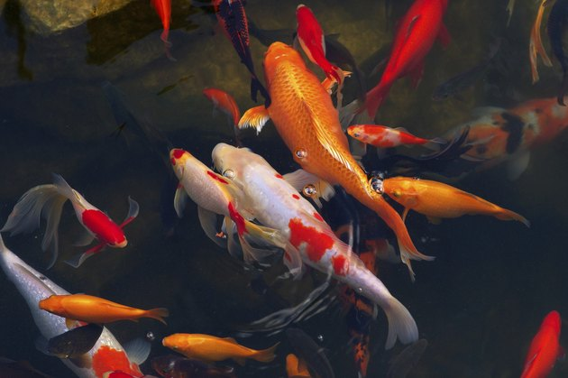 Koi Carps Fish Japanese swimming (Cyprinus carpio) beautiful
