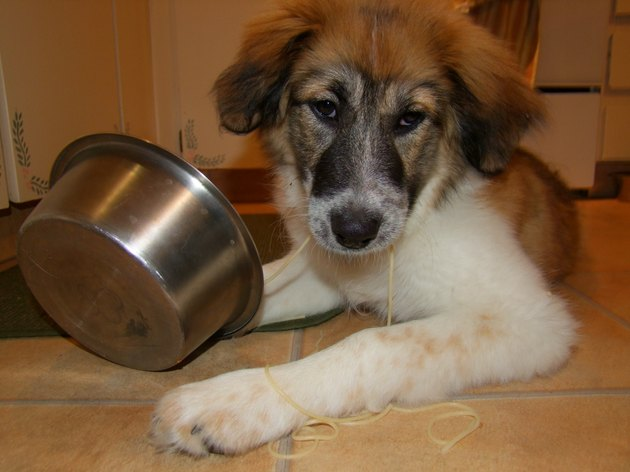 Puppy Enjoys Speghetti