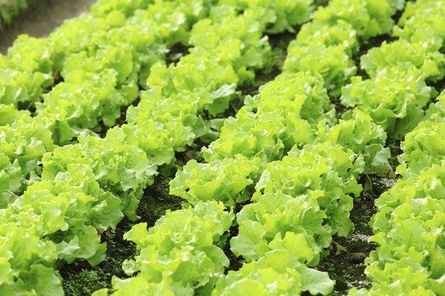 lettuce plant in field