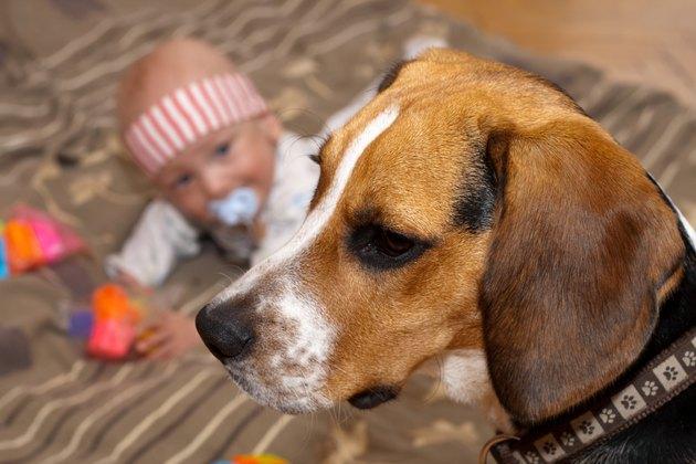 Baby boy plays with a beagle dog