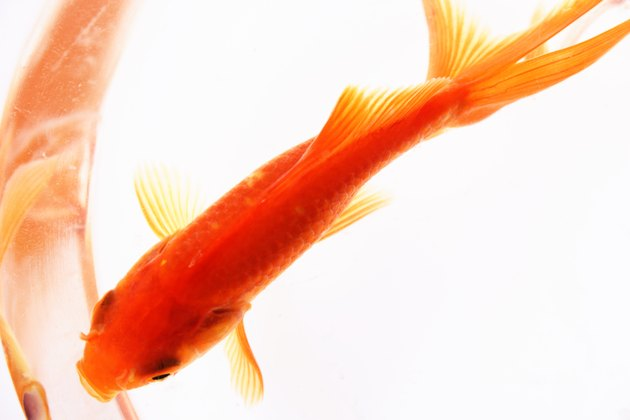 Close-up of a Goldfish