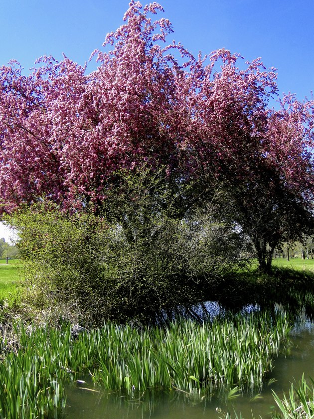 Crab Apple Tree in Spring
