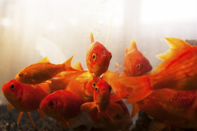 Goldfish, looking at camera