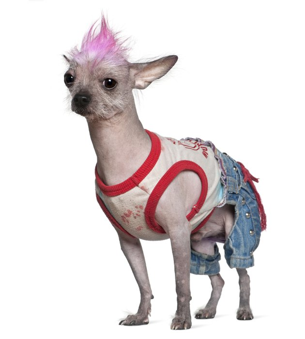 Side view of Punk dressed Chinese Crested Dog, standing.