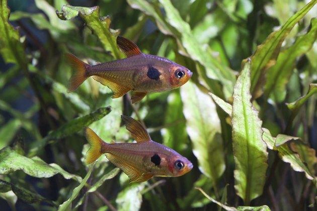 Aquarium fish. Rosy Tetra.