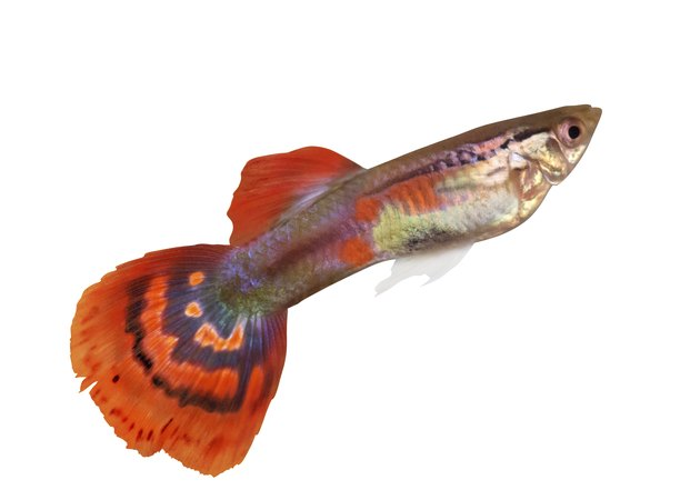 guppy with red spotted tail on white