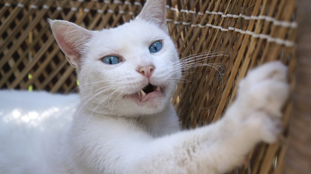 Scratching White Cat with Pink Nose