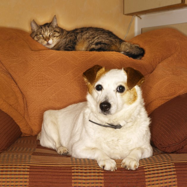 terrier dog  and cat sitting on a sofa