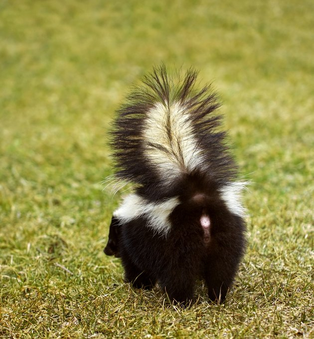 You Don't Wanna Be Here Striped Skunk