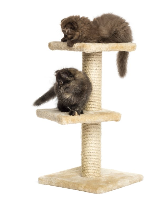 Highland fold kittens playing on a cat tree, isolated