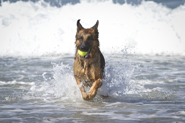 German Shepherd Dog i Ocean