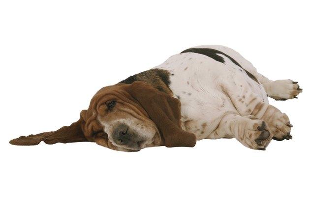 Sleeping basset hound