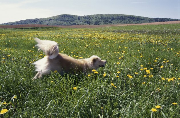 Dog running through a grassy field