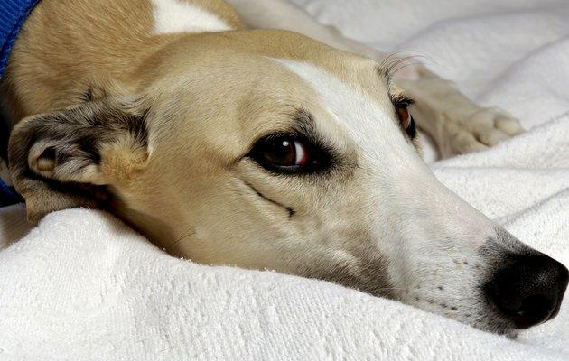 Greyhound Series