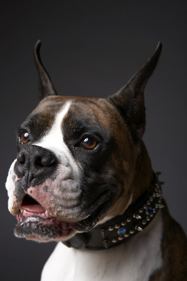 Boxer dog with ears pricked, close-up