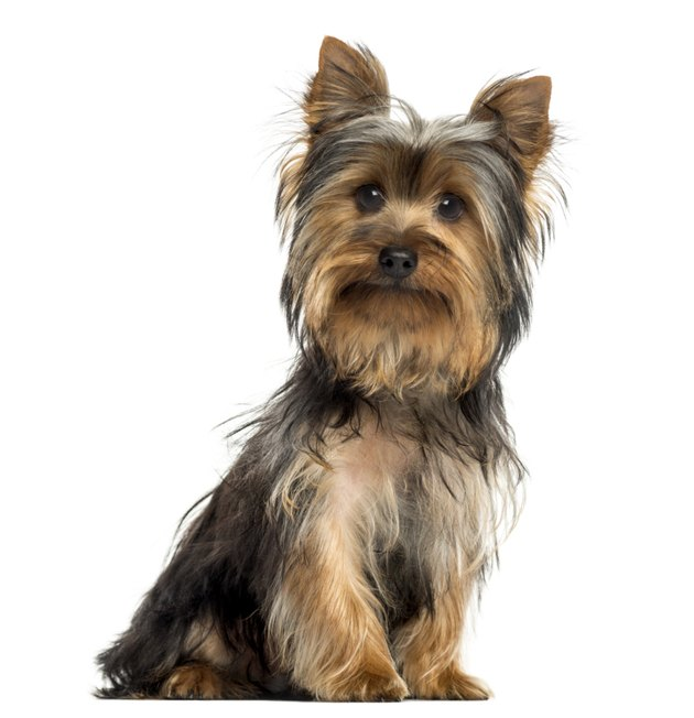 Yorkshire terrier sitting, looking at the camera, isolated
