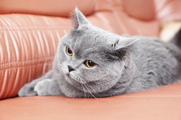 British gray cat lying on a red couch