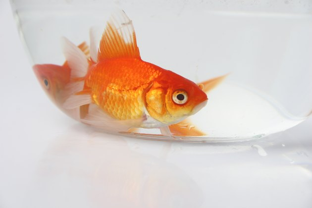 A Goldfish in a bowl