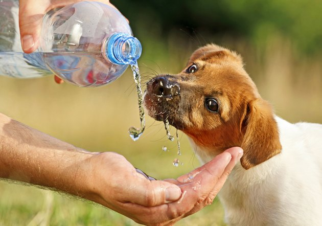 Puppy drinking water from a bottle
