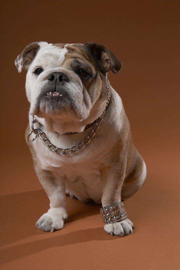 Dog with bracelet on paw