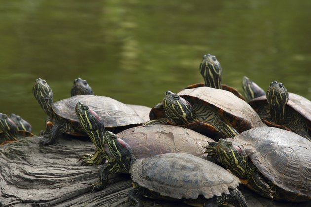 Turtles  Golden Gate Park  California, USA