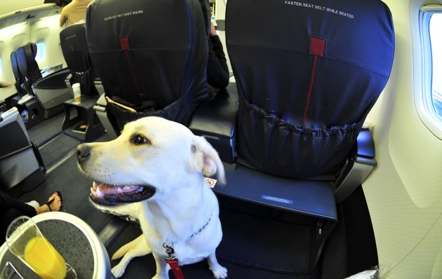 Dog On Airplane