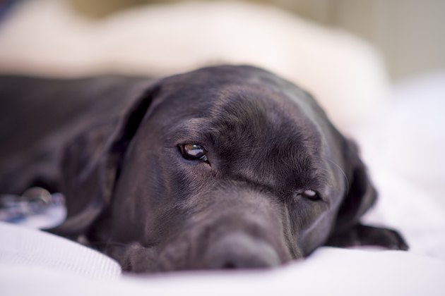 Labrador Retriever Resting Peacefully