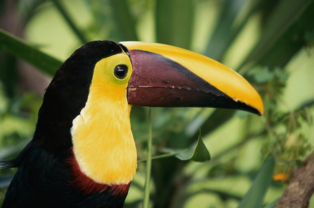 Close-up of a Chestnut-mandibled Toucan (Ramphastos swainsonii)