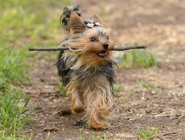Female Yorkshire Terrier dog