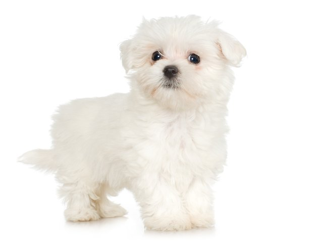 Studio portrait of Maltese puppy