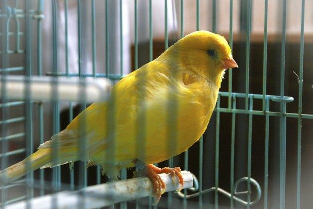 canario en su jaula