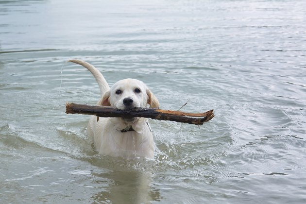 labrador dog in water