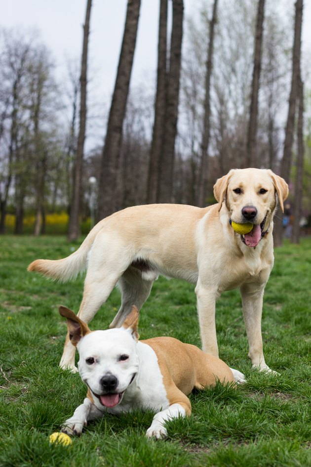 Labrador retriever and Staffordshire terrier dog in the park with balls