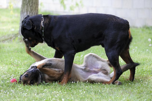 A rottweiler standing over a malinois on the grass.