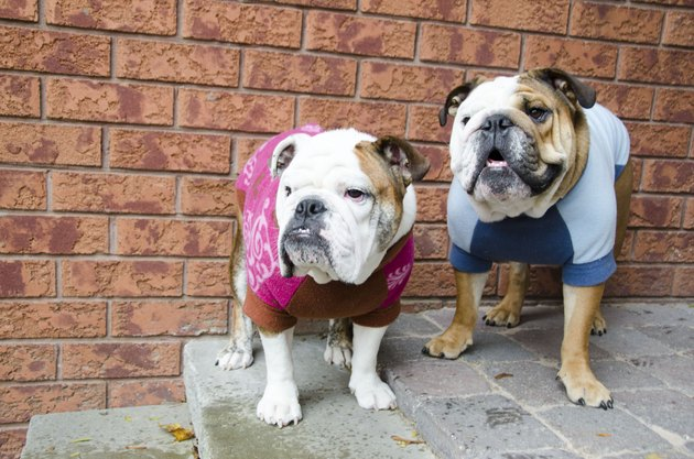 Bulldog Pair