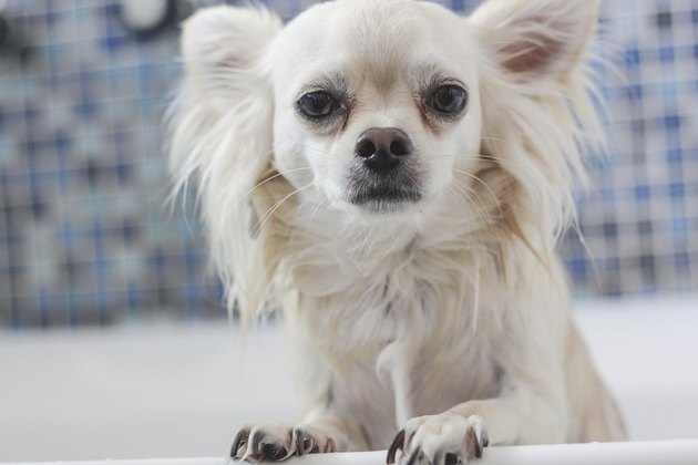 white coated chihuahua standing in the bath