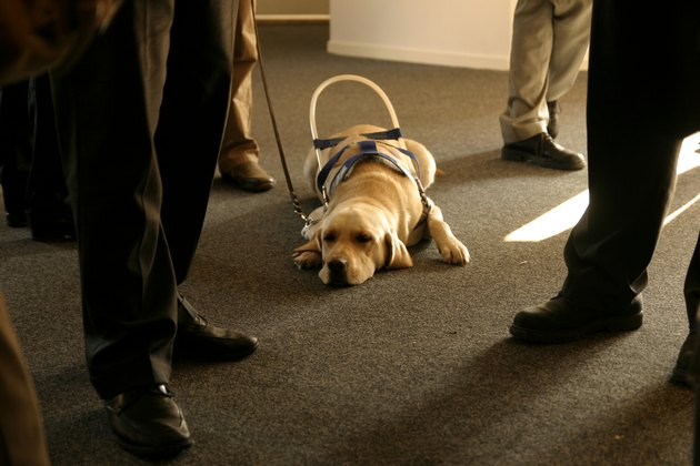 Helper of the blind: Waiting guide dog
