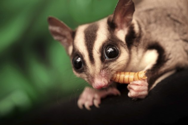 The sugar glider (Petaurus breviceps) eats beetle larva