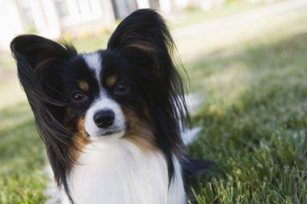 Papillion dog in grass