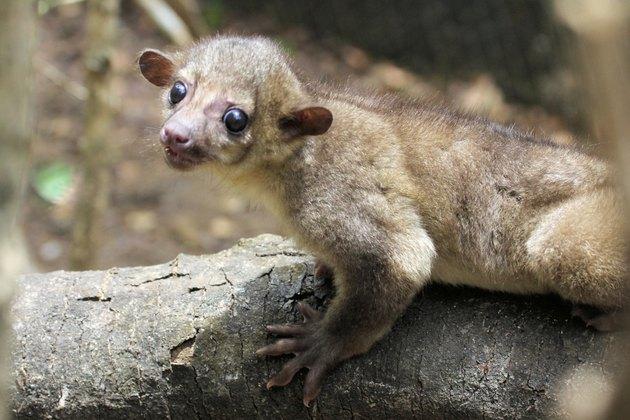 Kinkajou at the Zoo (potos flavus)